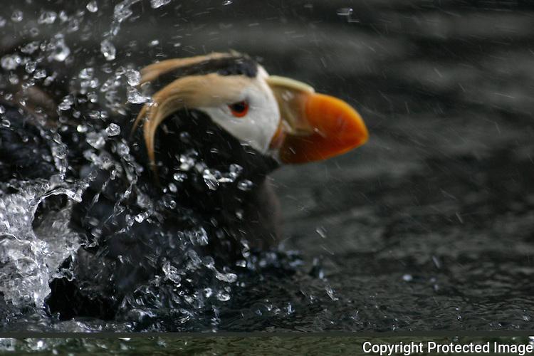 Tufted puffin splash