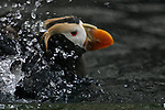 Tufted puffin splash