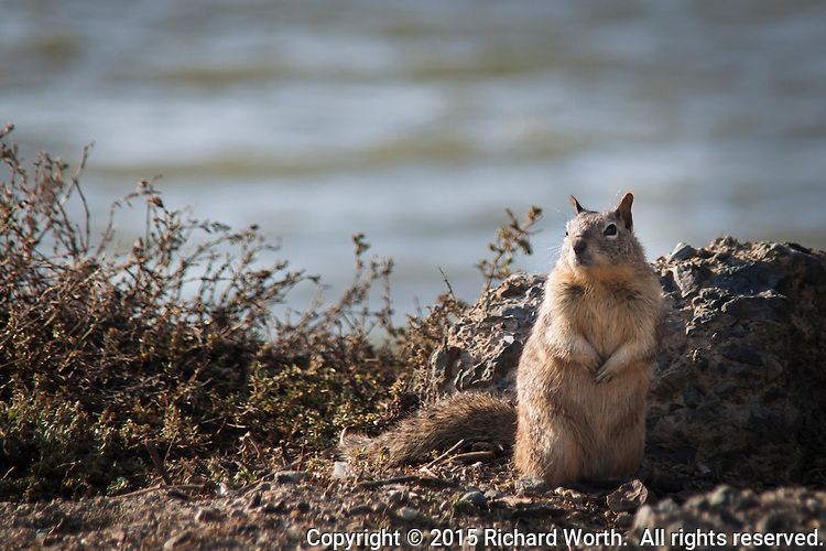 A ground squirrel poses along the shores of San Francisco Bay.