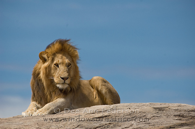 Male lion rest high upon the rocky outcroppings of the Gol Kopjes in the Serengeti. Tanzania