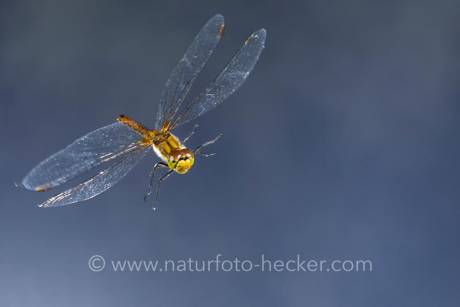 Blutrote Heidelibelle, Weibchen, Flug, fliegend, Sympetrum sanguineum, ruddy sympetrum, Ruddy Darter, female, flight, flying, Sympétrum sanguin