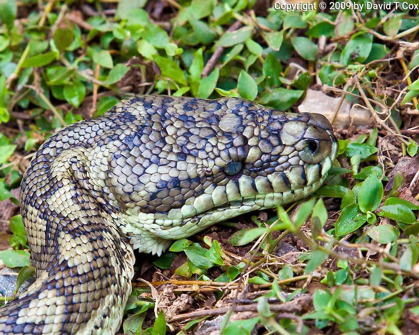 Carpet Snake, Springbrook NP, Queensland, Australia
