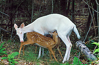 Albino White-tailed Deer doe nursing normal colored fawns.  Michigan.  Summer.