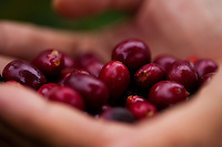 Hands full of ripe red coffee cherries from a Kona coffee plantation on the Big Island