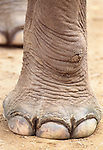 Close-up of an Asian elephant's foot.