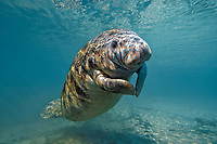 Florida manatee calf, Trichechus manatus latirostris, a subspecies of West Indian manatee, Three Sisters Springs, Crystal River, Florida, USA