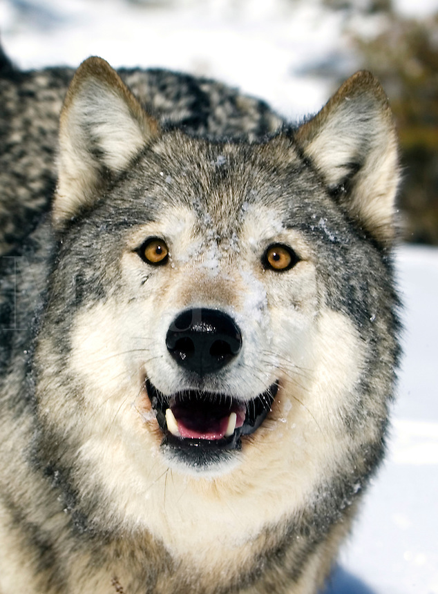 Adult wolf making eye contact.