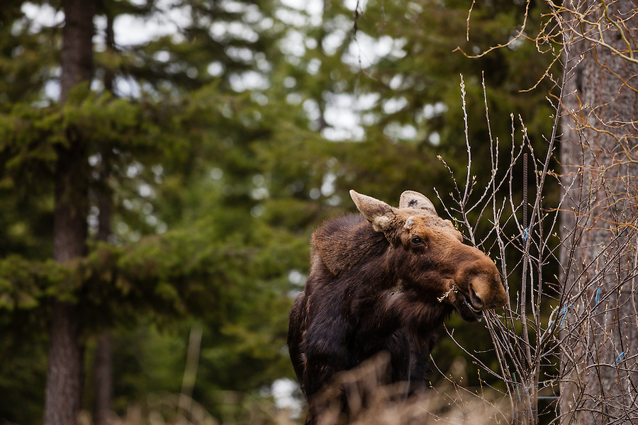 A young bull moose without antlers chews on tree branches  in Bonner County, Idaho.