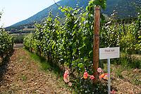 Vines. Pinot noir vine variety. Biblia Chora Winery, Kokkinohori, Kavala, Macedonia, Greece