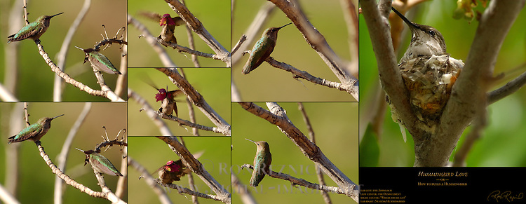 "Anna's Hummingbird Hummingbird Love ""How to build a Hummingbird"" Calypte anna Southern California Composite Image"