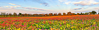 Colorful Wildflowers Panorama - Another panorama of Texas wildflowers as they seem to climb this hill side with all these wonderful vibrant colors.  Not every year is great and in this area thats a big win I mean wildflower lottery for photographers.  All the different kind of flowers growing in this field south east of San Antonio were really pretty.  There were indian paintbrush, yellow daisy, drummond phlox and even a few bluebonnets trying to hang on.
