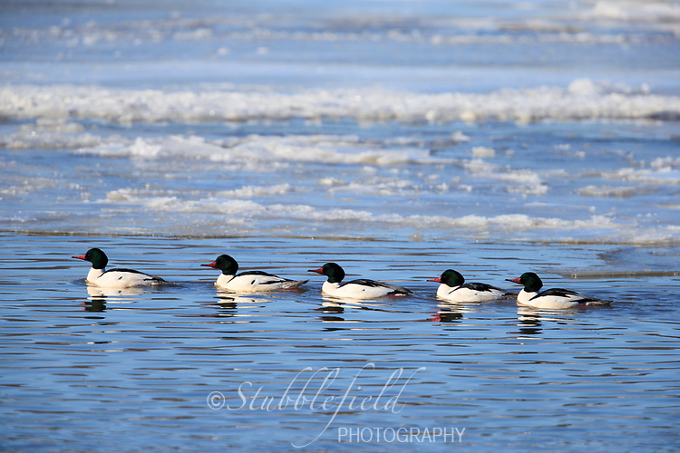 Common Merganser (Mergus merganser americanus), North American subspecies, males swimming in the icy Hudson River off Verplanck Point in Verplanck, New York.