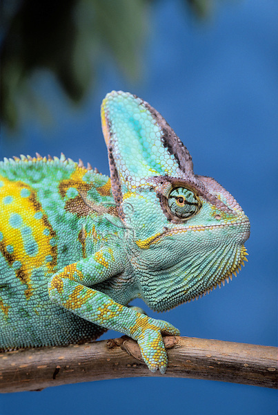 VEILED CHAMELEON. Male..From high plateau & grasslands of Yemen..captive. (Chamaeleo calyptratus).