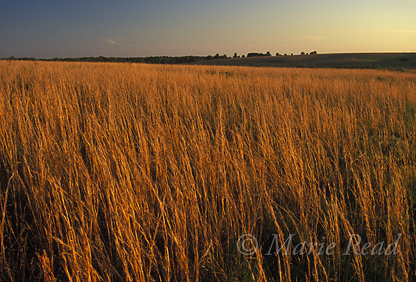 Tallgrass prairie vegetation, May, Taberville Prairie, Missouri, USA.<br /> Slide # PRAMO-41