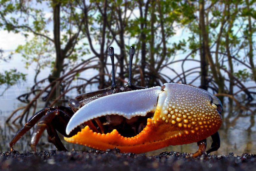 Fiddler crab;  Uca sp, in mangroves.  Indonesia.