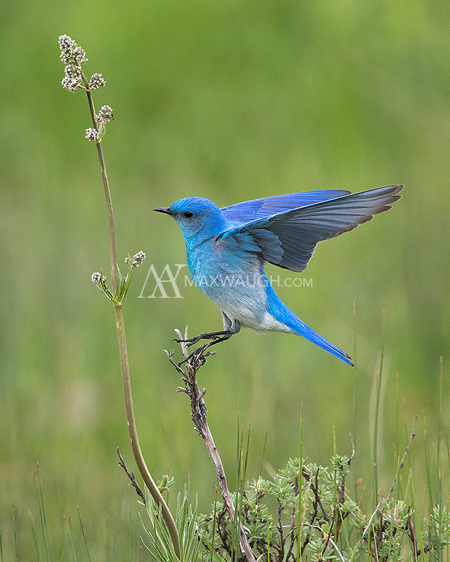 A male bluebird lands after dashing into the air for bugs.