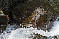 Coho Salmon jumping small falls on Sol Duc River.<br /> Olympic Peninsula, WA.  Sept.  The Sol Duc has a unique run of summer coho which start entering the river in July.  Note: this is not on the Merrill Ring property.