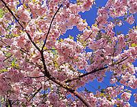 Flowering Cherry tree. Near Monroe, Oregon.