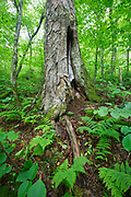 Old Yellow Birch tree (Betula alleghaniensis) at Lafayette Brook Scenic Area in the White Mountains, New Hampshire during the summer months. This designated scenic area is 990 acres.