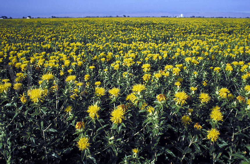 field of flowering safflower plants. flower, agriculture, oil, crop. Tracey California.