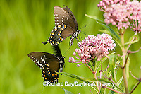 03029-013.02 Spicebush Swallowtails (Papilio troilus) male & female courtship behavior near Swamp Milkweed (Asclepias incarnata) Marion Co. IL