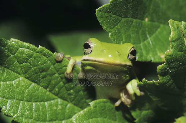 Green Treefrog (Hyla cinerea), adult in leaves, Sinton, Coastel Bend, Texas, USA