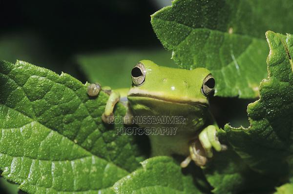 Green Treefrog (Hyla cinerea), adult in leaves, Sinton, Coastel Bend, Texas, USA