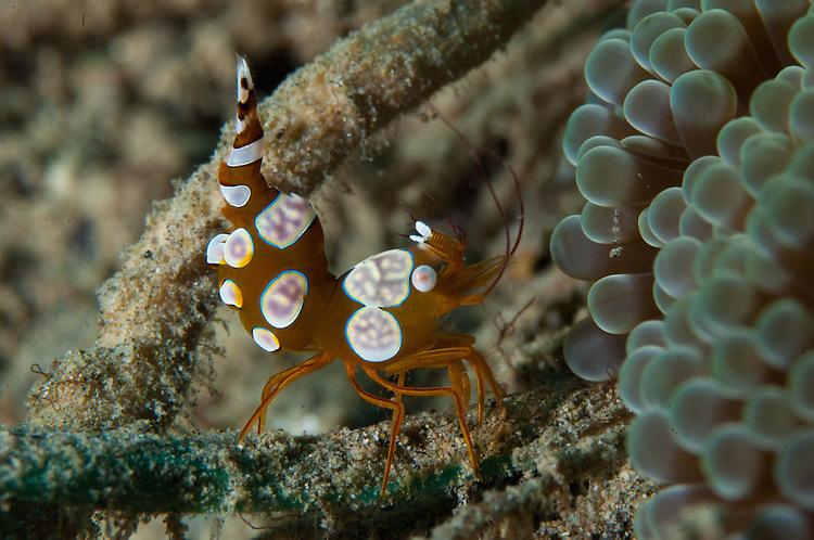 squat anemone shrimp: Thor amboinensis, side view, Gorontalo, Sulawesi, Indonesia