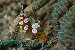 squat anemone shrimp: Thor amboinensis, side view, Gorontalo, Sulawesi, Indonesia