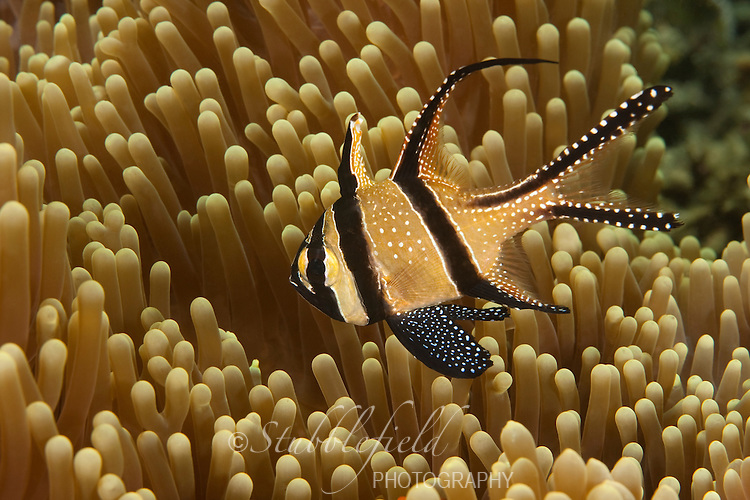 Banggai Cardinalfish (Pterapogon kaudemi), Lembeh Strait, North Sulawesi, Indonesia