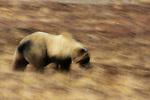 Brown bear, Denali National Park, Alaska, USA