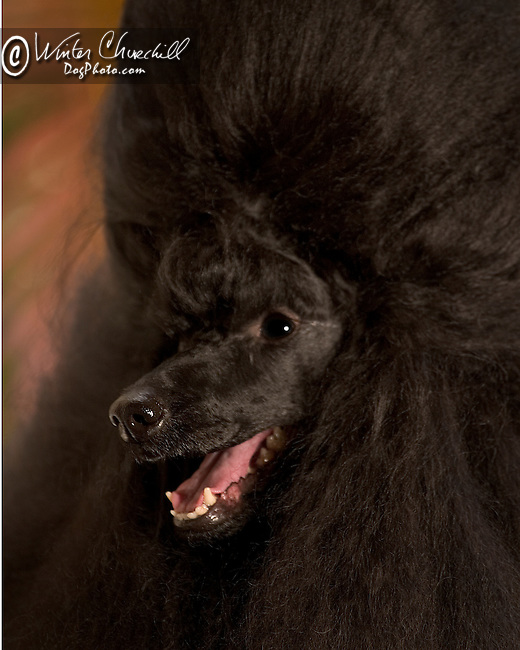 Poodle<br /> <br /> Shopping cart has 3 Tabs:<br /> <br /> 1) Rights-Managed downloads for Commercial Use<br /> <br /> 2) Print sizes from wallet to 20x30<br /> <br /> 3) Merchandise items like T-shirts and refrigerator magnets