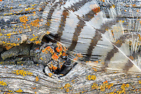 Great Horned Owl feather on fence with lichens. Summer Lake State Wildlife Refuge. Oregon