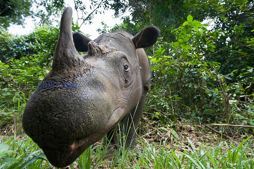Sumatran rhino (Dicerorhinus sumatrensis).Way Kambas National Park, Lampung Province, southern Sumatra, Indonesia.Critically endangered / threatened species - fewer than 200 left.Captive - Sumatran Rhino Sanctuary within the park