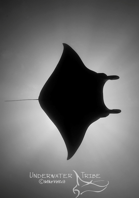 Manta ray in silhouette, Manta birostris, Valley of the Rays, Goofnuw Channel, Yap, Federated States of Micronesia, Pacific Ocean