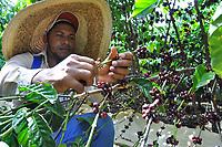 AGROCAFE del Caribe realiza recorrido por finca durante la primera cosecha de caf&eacute; tipo robusta en Hato Mayor<br /> Fotos: Carmen Su&aacute;rez/acento.com.do<br /> Fecha: 27/01/2014