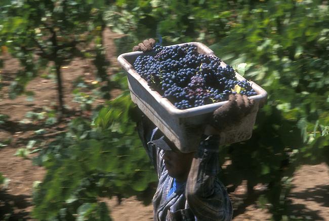 Cabernet Sauvignon harvest
