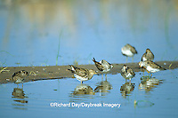 00924-005.06 Pectoral Sandpipers (Calidris melanotos) in wetland, Prairie Ridge State Natural Area Marion Co.  IL