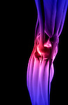 An anterolateral view (right side) of stylized muscles of the right knee. Royalty Free