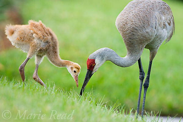 Greater Sandhill Cranes (Grus canadensis) (Florida race), chick foraging with its parent, Kissimmee, Florida, USA