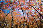 Autumn beech forest, Graggy Gardens