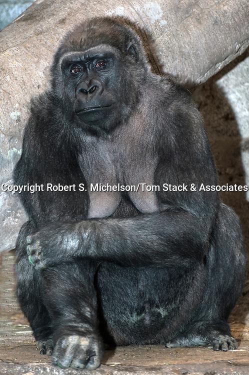 western lowland gorilla female full body view, vertical