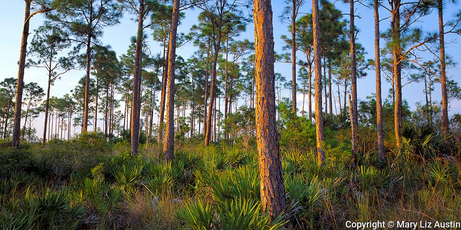 Everglades National Park, FL <br /> Forest hammock of slash pine (Pinus elliottii) and saw palmetto (Serenoa repens)