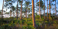 Everglades National Park, FL <br /> Forest hammock of slash pine (Pinus elliottii) and saw palmetto (Serenoa repens)