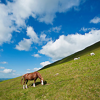 Welsh Mountain Pony grazes on hillside, Hay Bluff, Breacon Beacons national park, Wales