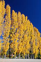 Bright yellow poplar trees in Autumn on the edge of Lake Wanaka, Southern Lakes, New Zealand