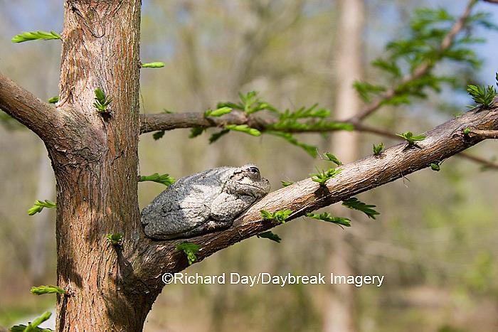 02449-005.02 Gray Treefrog (Hyla versicolor) on Bald cypress tree, Little Black Slough, Cache River SNA, IL