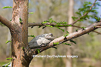 02449-005.02 Gray Treefrog (Hyla versicolor) on Bald cypress tree, Little Black Slough, Cache River SNA, IL