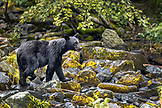 USA, Alaska, Redoubt Bay, Big River Lake, a black bear walking on the rocks at Wolverine Cove