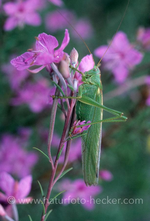 Grünes Heupferd, Weibchen mit langem Legebohrer, Großes Heupferd, Großes Grünes Heupferd, Grüne Laubheuschrecke, Tettigonia viridissima, Great Green Bush-Cricket, Green Bush-Cricket,. female